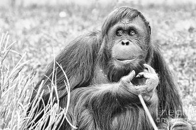 Orangutan Print by Scott Hansen