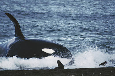 Valdes Photograph - Orca Orcinus Orca Hunting South by Hiroya Minakuchi