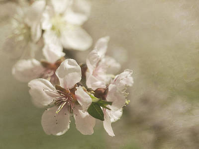 Peaches On A Tree Photograph - Orchard In Spring by Cheryl Butler