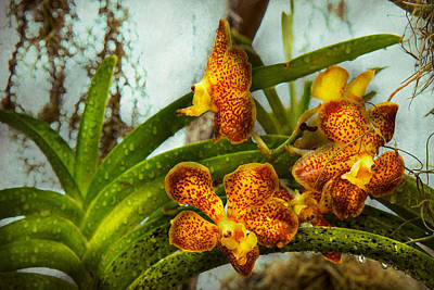 Orchid - Oncidium - Ripened   Print by Mike Savad