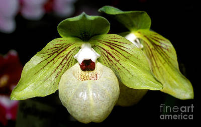 Orchid 46 Print by Terry Elniski