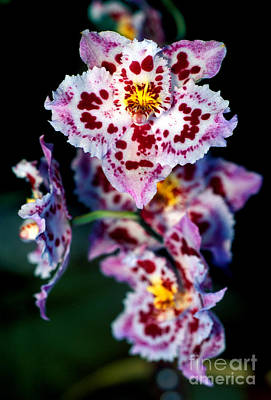 Orchid 55 Print by Terry Elniski