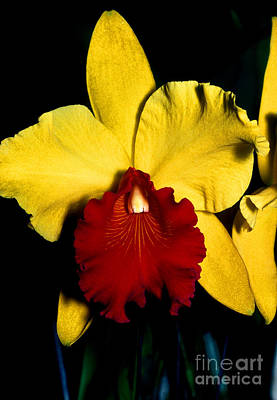 Orchid 9 Print by Terry Elniski