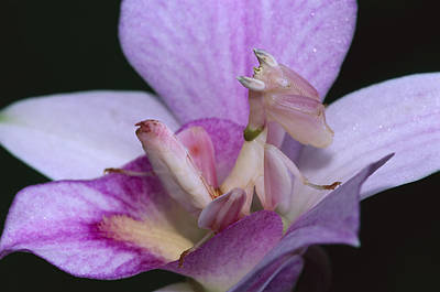 Orchid Mantis In The Pink Print by Thomas Marent