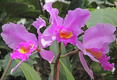 Orchids 14 Print by Becky Lodes