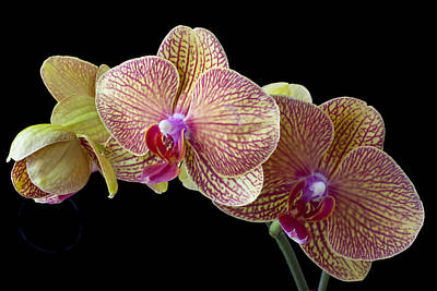 Monocot Photograph - Orchids by Garry Gay