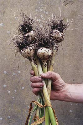 Organic Serpent Garlic Print by Maxine Adcock