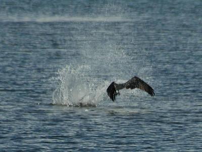 Osprey Photograph - Osprey Fishing by Ernie Echols
