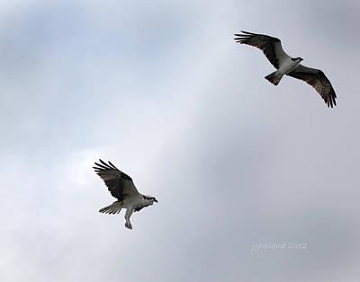 Osprey Pair In Flight Original by Joseph G Holland