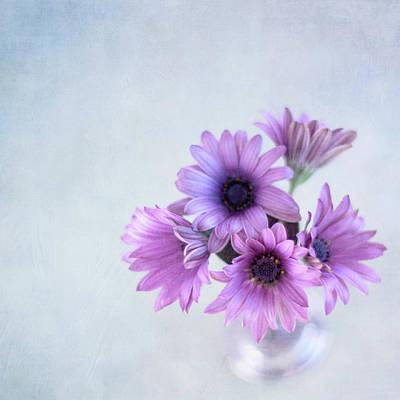 Osteospermum Photograph - Osteospermum by Jill Ferry