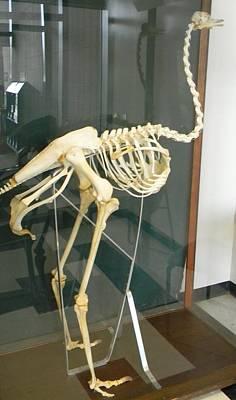 Ostrich Skeleton Original by Warren Thompson