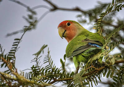 Lovebird Photograph - Over My Shoulder  by Saija  Lehtonen