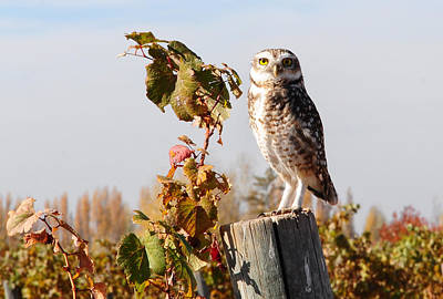 Mendoza Photograph - Owl Perching On Post by Dedé Vargas