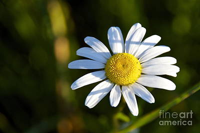 Yellow Photograph - Ox-eye Daisy by Sean Griffin