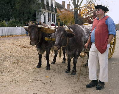 Glouster Photograph - Oxen And Handler by Sally Weigand