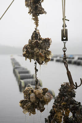 Rain Barrel Photograph - Oysters Pulled Up From A Farm Covered by Taylor S. Kennedy