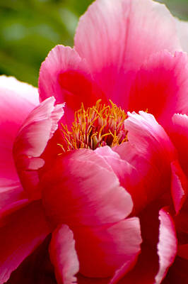 Peony Photograph - Paeonia In Pink by Sophie  Bouchard