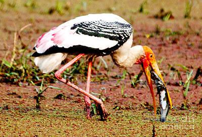 Painted Stork Feeding Print by Pravine Chester