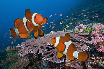 Clown Fish Photograph - Pair Of Clownfish On Tropical Coral Reef by Jeff Hunter