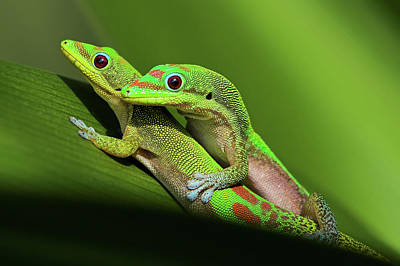 Pair Of Mating Green Geckos Print by Pete Orelup