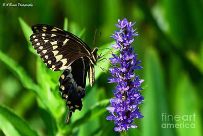 Palamedes Swallowtail Butterfly Print by Barbara Bowen
