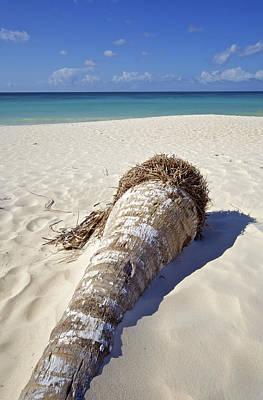 Palm Tree On A Caribbean White Sand Beach Print by David Letts