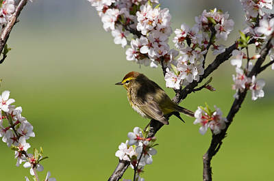 Of Flowering Palm Tree Photograph - Palm Warbler by Mike Grandmailson