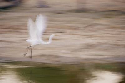 Panned View Of A Great Egret Ardea Alba Print by Jason Edwards