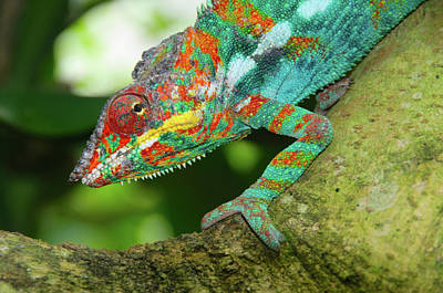 Madagascar Photograph - Panther Chameleon by Dave Stamboulis Travel Photography
