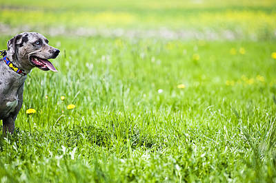 Close Focus Nature Scene Photograph - Panting Dog Standing In Meadow by Stock4b-rf