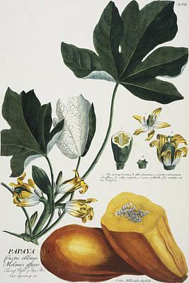 Papaya Print by Georg Dionysius Ehret
