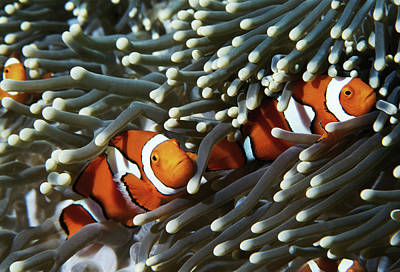 Clown Fish Photograph - Papua New Guinea, Two False Clown Anemonefish And Sea Anemone, Underwater View by Darryl Leniuk