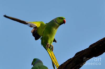 Parakeet Digital Art - Parakeet In Flight by Pravine Chester