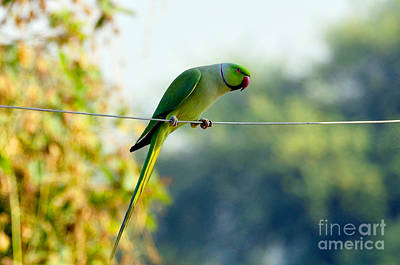 Bird Photograph - Parakeet On A Wire by Pravine Chester