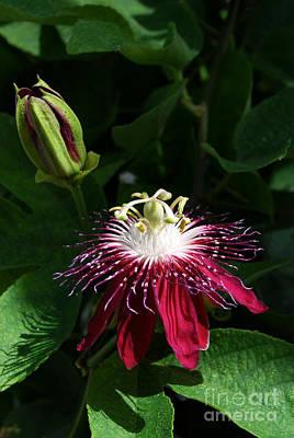 Passion Fruit Digital Art - Passion Flower by Eva Kaufman