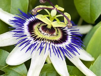 Passionflower Photograph - Passion Flower (passiflora Caerulea) by Adrian Bicker