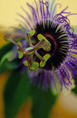 Passiflora Photograph - Passionate Flower by Kathy Yates