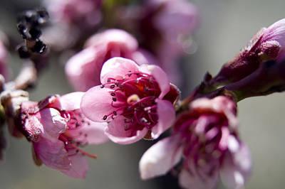 Peach Digital Art - Peach Blossoms by Ellen Heaverlo