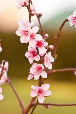 Peach Blossoms Print by Michelle Wrighton