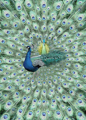 Limited Edition Photograph - Peacock Card by John Neville Cohen