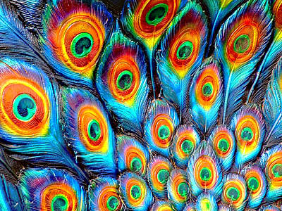 Peacock Feathers Print by Helen Stapleton