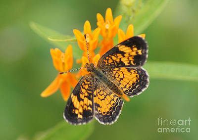 Pearl Crescent On Butterfly Weed Flowers 2 Print by Robert E Alter Reflections of Infinity LLC
