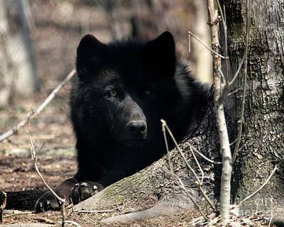 Black. Timber Wolf Photograph - Peeking by Deborah  Smith