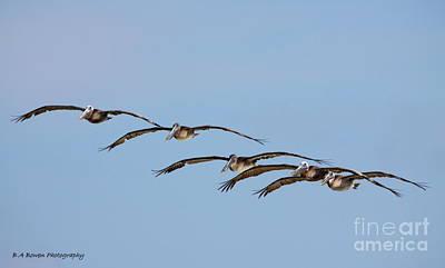 Pelican Crew In Flight Print by Barbara Bowen