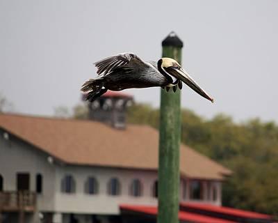 Pelican Flying Through Murrells Inlet Print by Paulette Thomas