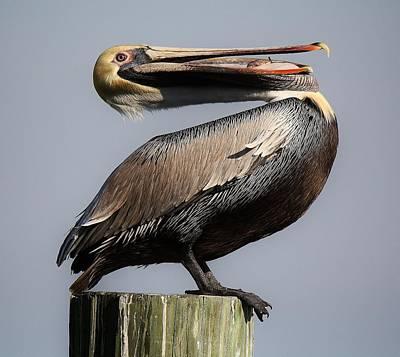 Pelican Perching Print by Paulette Thomas