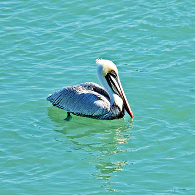 Pelicans Photograph - Pelican Portrait by Aimee L Maher Photography and Art Visit ALMGallerydotcom