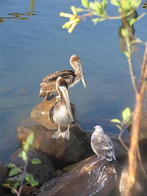 Pelican Stand Off Print by Bob Davis