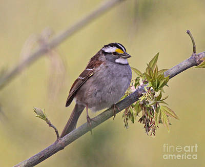 Perched White-throated Sparrow Print by Chris Hill