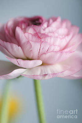 Ranunculus Photograph - Persian Buttercup by Nailia Schwarz